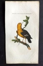 Brightly (Pub) 1815 Hand Col Bird Print. Black and Yellow Manakin